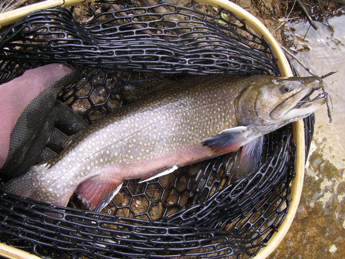 Old Brook Trout