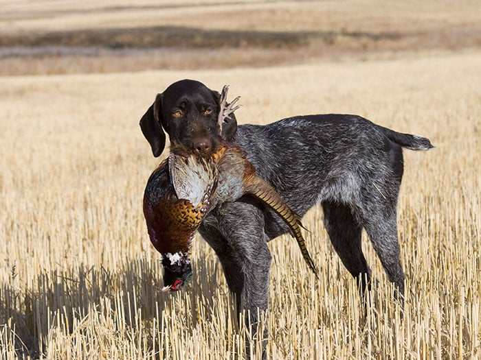 Wirehaired holding pheasant