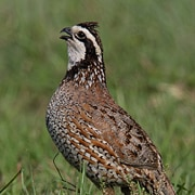 Quail - a Pennsylvania game bird, offers a challenging target. With flight speeds up to 30-40mph, this prey will generate lots of excuses and many laughs.